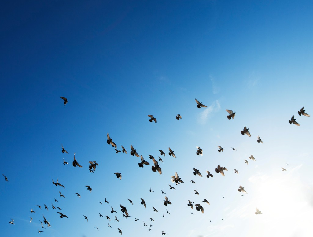 flock of birds in a blue sky